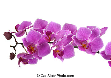 Orchid Flower - Beautiful orchid
