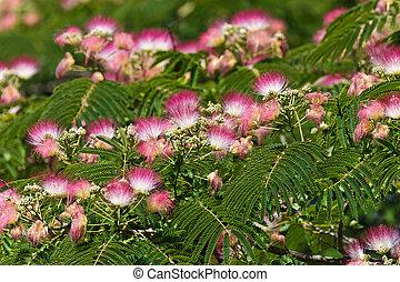 flowers Albizia julibrissin