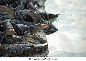 Reptile Pile - aligators in a pile near a pool of reflective...