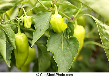 Jalapeno pepper growing in a garden