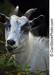 Billy Goat - Goat
