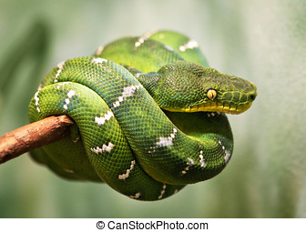 Green Tree Python - Green Snake on a Tree Branch