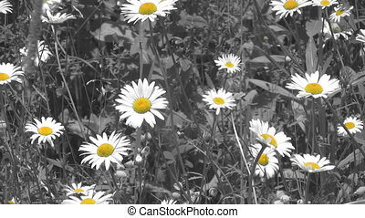 Springtime daisies. Selective Colou - Daisies sway gently in...