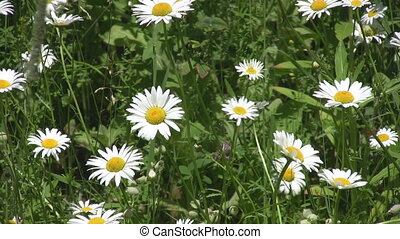 Springtime daisies - Daisies sway gently in a spring meadow...
