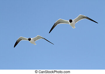 Laughing Gulls By The Ocean - Laughing Gulls Larus atricilla...