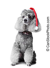 Christmas poodle dog - Portrait of obedient small gray...
