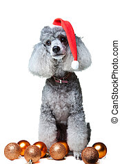 small gray poodle with christmas decoration - Close-up...