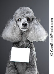 gray poodle dog with tablet for your text - Portrait of...