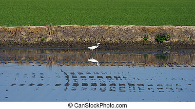 bird in a flooded rice crop - white heron in a rice crop,...