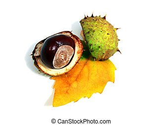 Aesculus fruit - chestnut fruit on the yellow autumn leaf...
