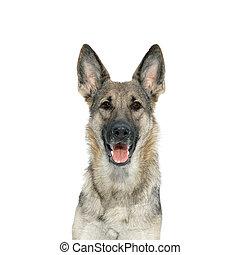 Portrait of a German Shepherd from
