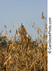 soybean field - golden ripe beans in soybean field at the...