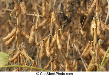 soybean seeds close up - Field of soy bean at the end of...
