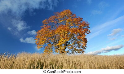Maple tree in autumn - Maple tree showing the colors of...