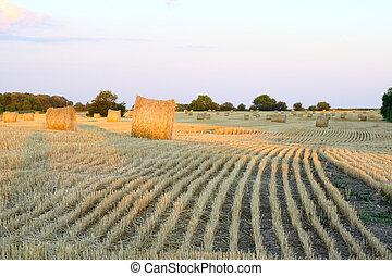 golden fields of hay