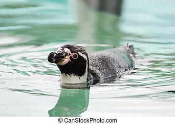 Penguin - A penguin swimming in cool aqua water