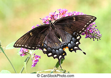 Female Tiger Swallowtail - Dark morph Female Tiger...