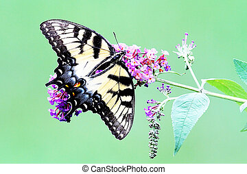 Female Tiger Swallowtail (papilio glaucas) Butterfly on a...
