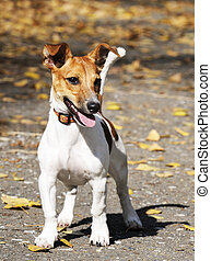 Jack Russell terrier - Young Jack Russell terrier dog...