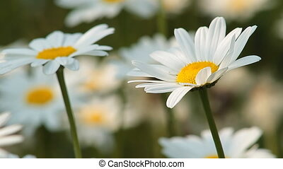 Daisy 9 - Daisies in a field.