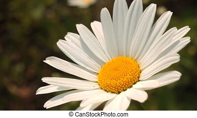 Daisy 4 - Daisies in a field.