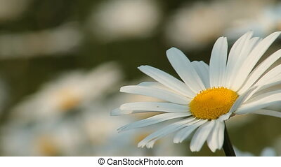 Daisy 6 - Daisies in a field.