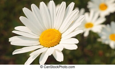 Daisy 2 - Daisies in a field.