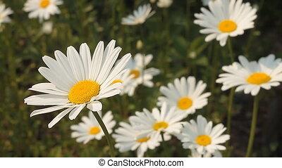 Daisy 1 - Daisy field