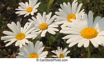 Daisy 3 - Daisies in a field.