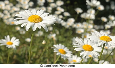 Daisy 11 - Daisies in a field.