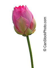 粉紅色, 蓮花
