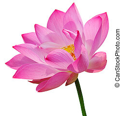 Pink lotus on white background