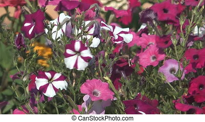 Petunia - Multi-colored petunias close up