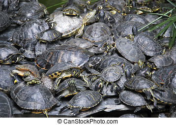 Pond turtles stacked - A lot of pond turtles stacked near...
