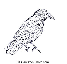 Crow - Detailed sketch illustration of crow