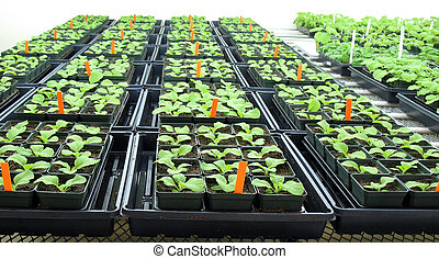 Plants in greenhouse - Young tobacco plants in greenhouse