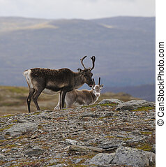 Reindeer in the tundra. Reindeer in search of food.