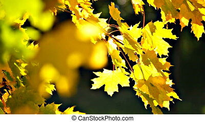 Yellow autumn leaves swaying in th