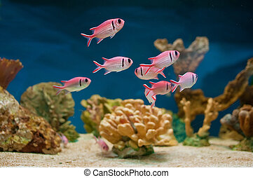 Pink fishes in aquarium - Beautiful pink sea fishes in an...