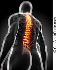 highlighted spine - 3d rendered anatomy illustration -...