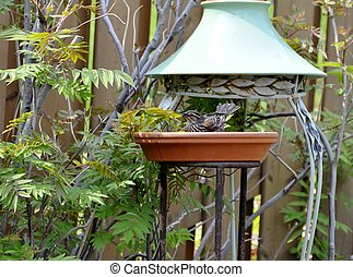 Bird bath - female red-winged Blackbird enjoying a bird bath...