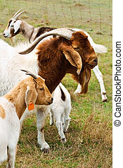 Billy goat with nanny goats - animal with horns