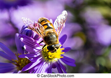 Bee in sunny weather on the purple flowers - Bee in sunny...