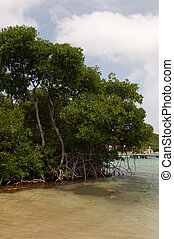 Red mangrove - beautiful red mangrove tree (Rhizophora...