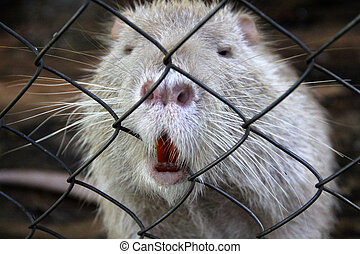 Nutria in zoo cage. Animals in captivity