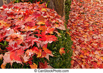 Fallen Maple Tree Leaves on Garden Shrubs