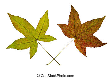 Pair of Maple Leaves on White Background