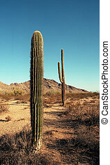 Arizona Saguaros - Saguaro cacti in the high desert of...