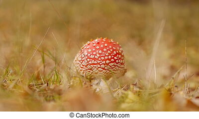 Fly agaric, collection mushrooms in autumn forest