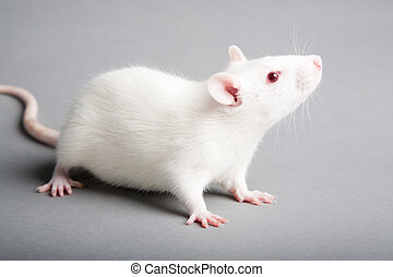 white rat - white laboratory rat isolated on grey background